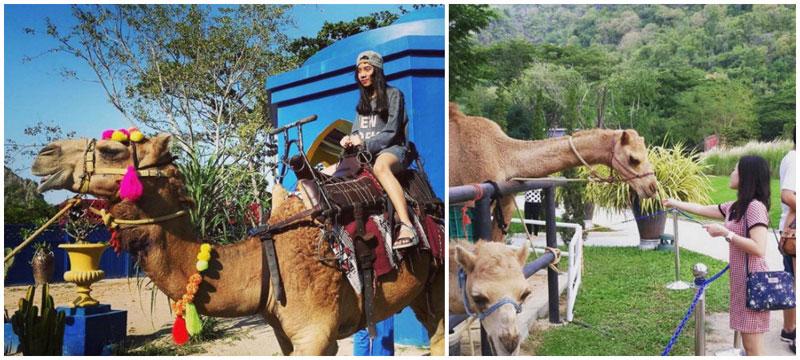 3-camel-via-ztarbuck,-bowysupapan